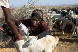 Veterinarian Khadra vaccinates livestock against disease in a drought ravaged area of Somalia