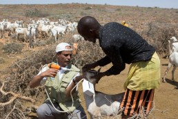 An FAO staff member vaccinates Mahal's goats against disease in a drought ravaged area of Somalia