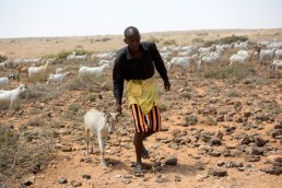 Mahal brings a goat to be treated for parasites by FAO in Somalia