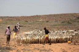 Mahal herds his goats after they were treated for parasites by FAO in Somalia