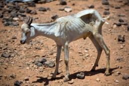 A goat waits to be treated for parasites by FAO in Somalia