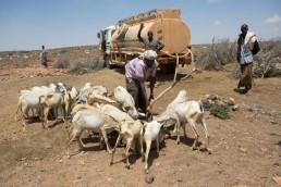 A man feeds water to his goats in the Somalian drought