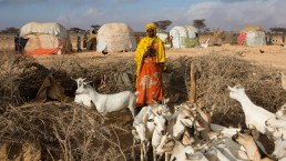 Herders wait to have their goats treated for parasites by FAO in Somalia